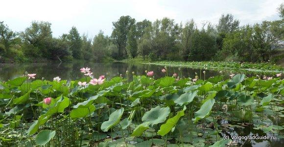 Озеро с лотосами